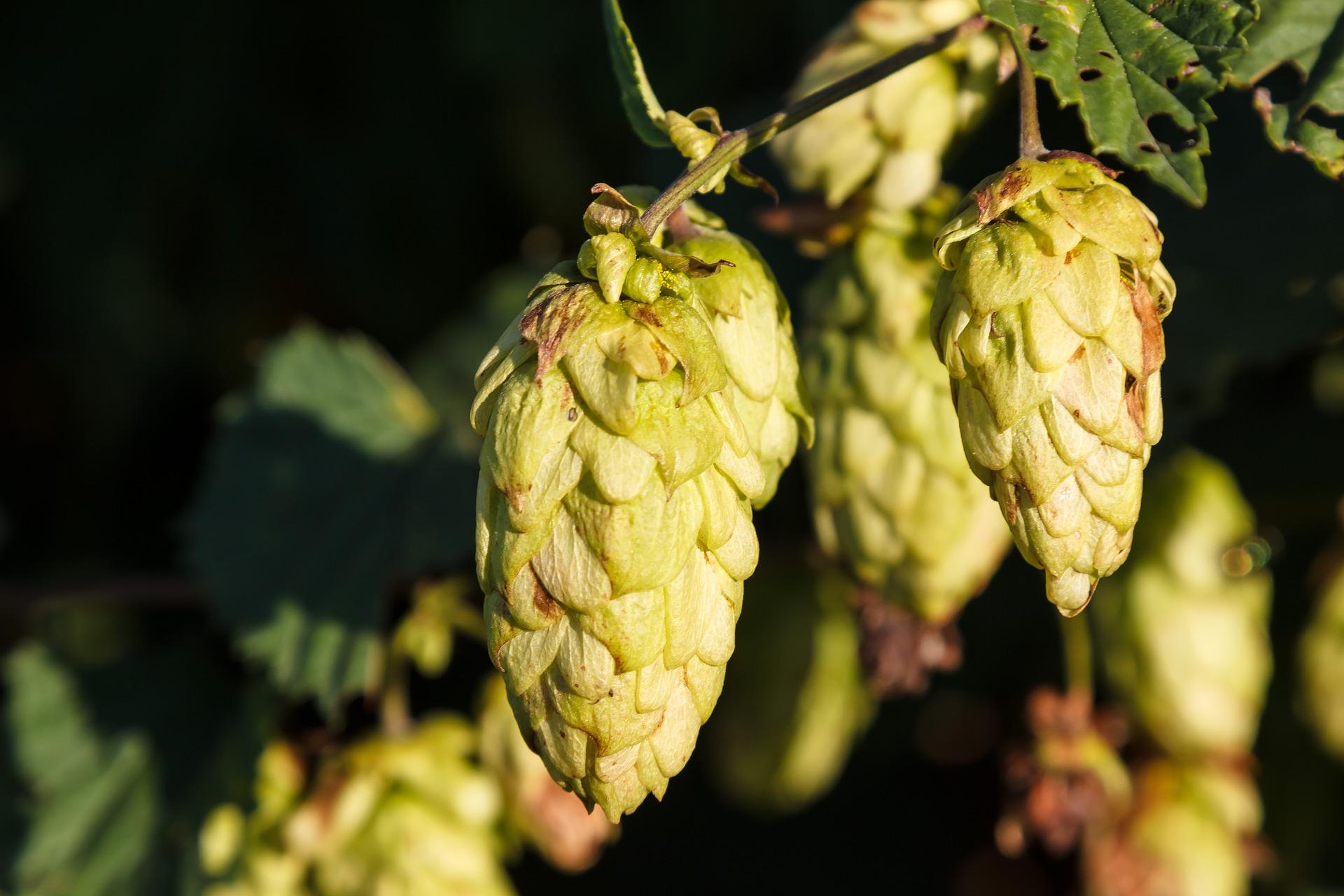 El lúpulo en la elaboración de la cerveza
